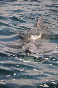 Гигантская акула (Basking shark)